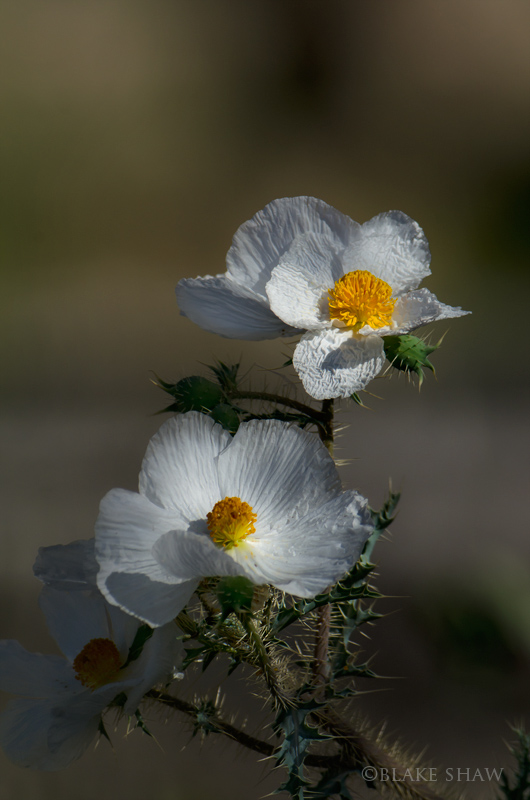Desert prickly poppy chiclote