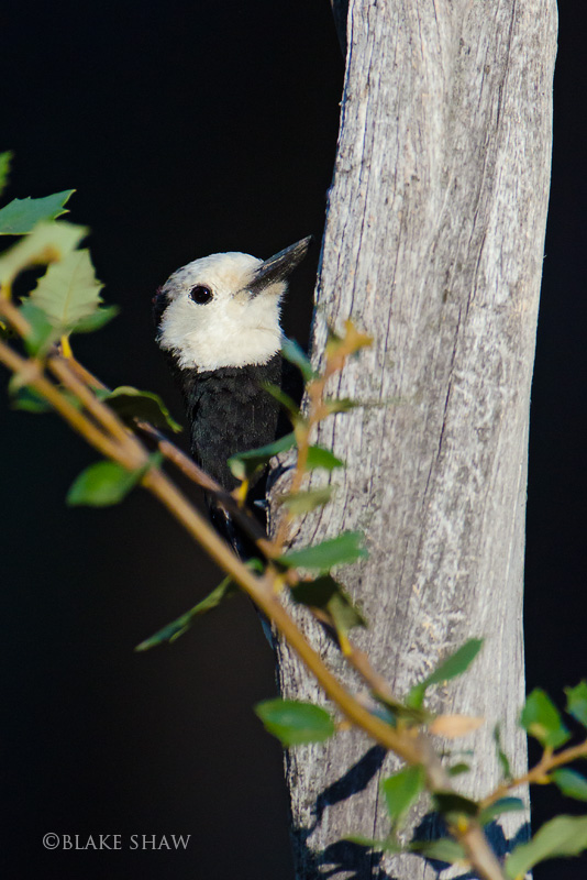 White-headed Woodpecker 2