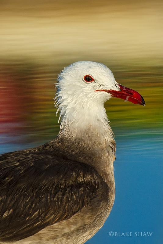 Heermann's gull san felipe