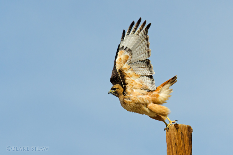 Red-tailed Hawk borrego