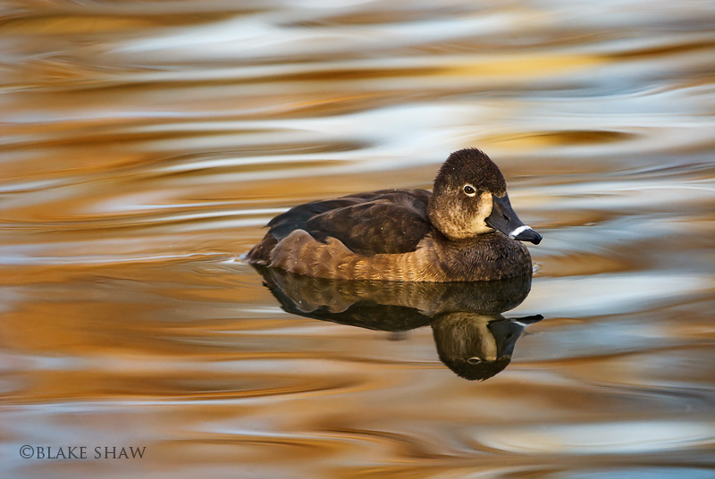 Ring necked duck female