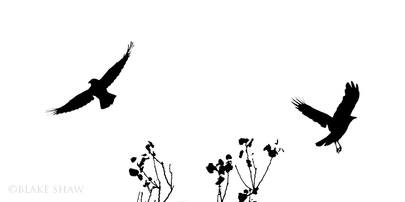 American crows silhouette