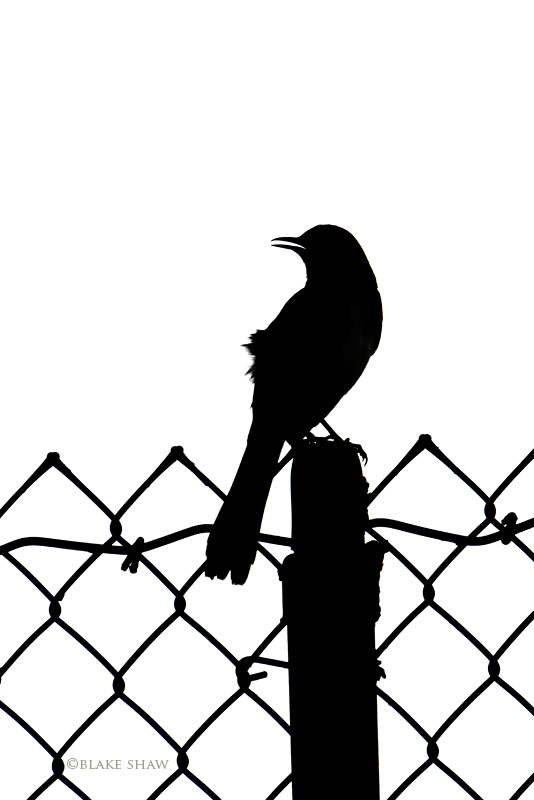 Northern mockingbird silhouette