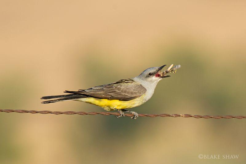 Kingbird san jacinto
