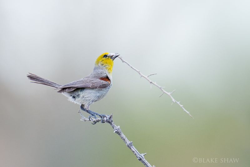 Verdin and nesting material copy