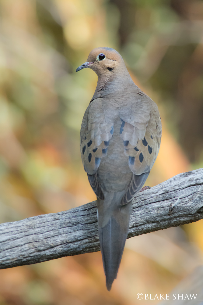 Mourning dove idyllwild
