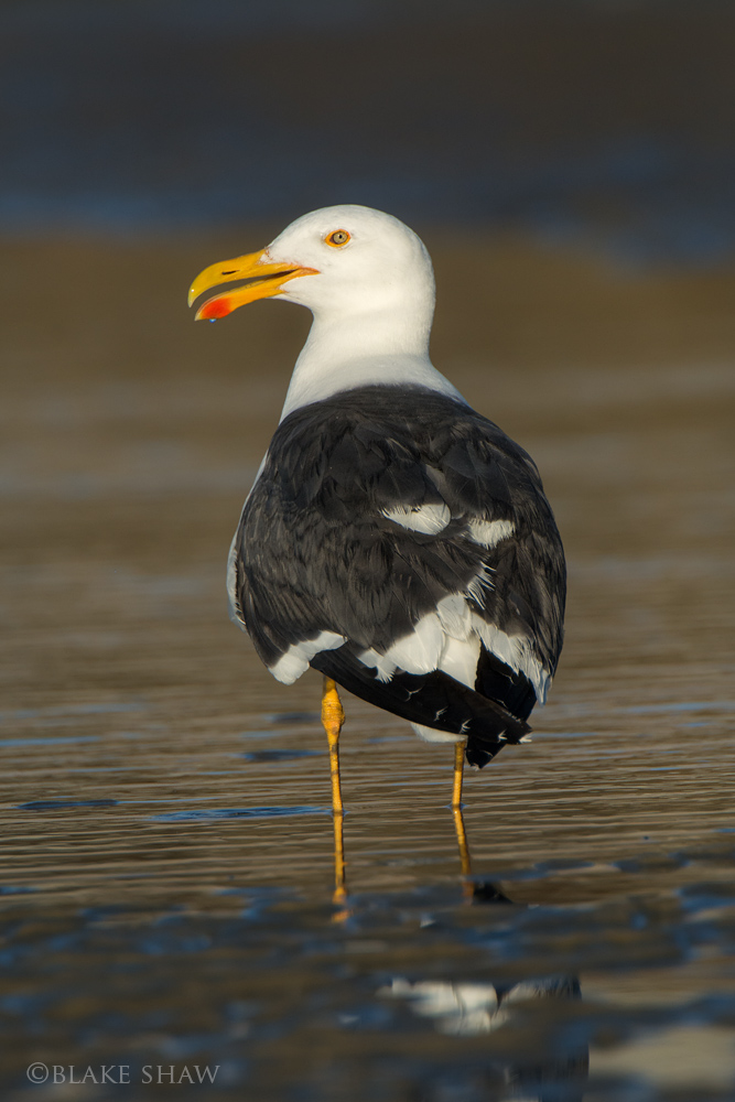 Yellow-footed gull san felipe