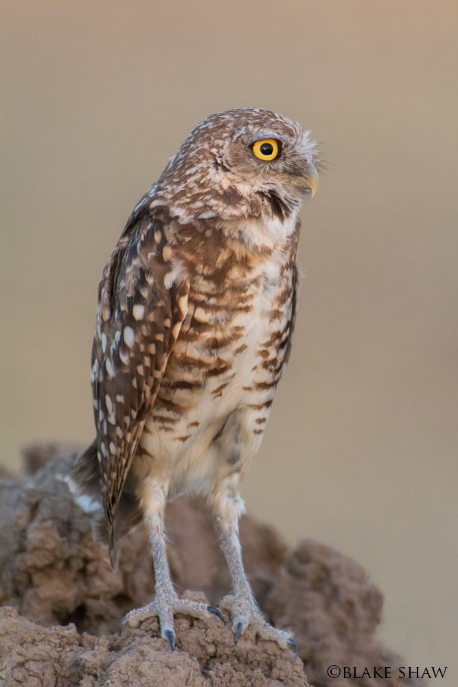 Burrowing owl dusk