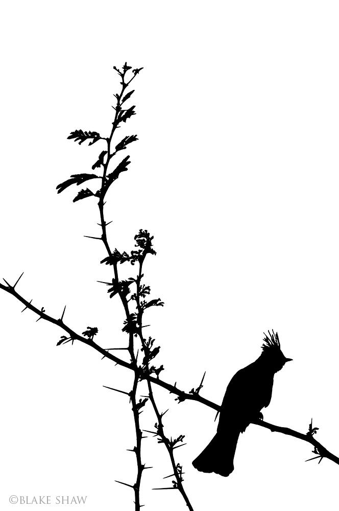 Phainopepla silhouette