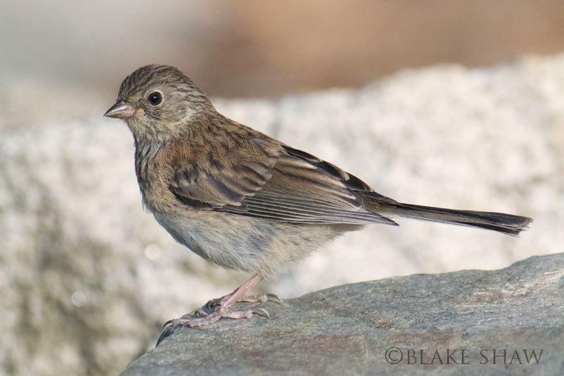Dark-eyed junco juvenile