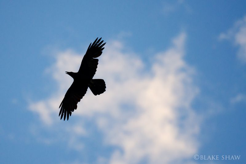Common raven silhouette