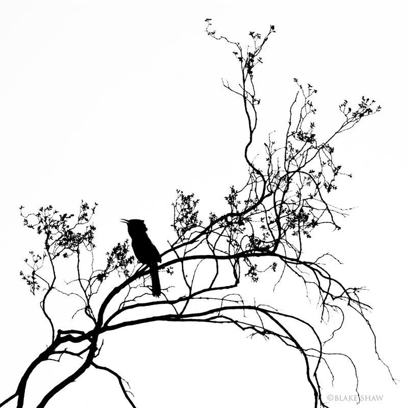 Cactus wren silhouette