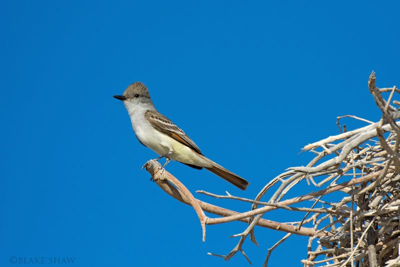 Ash-throated Flycatcher san felipe
