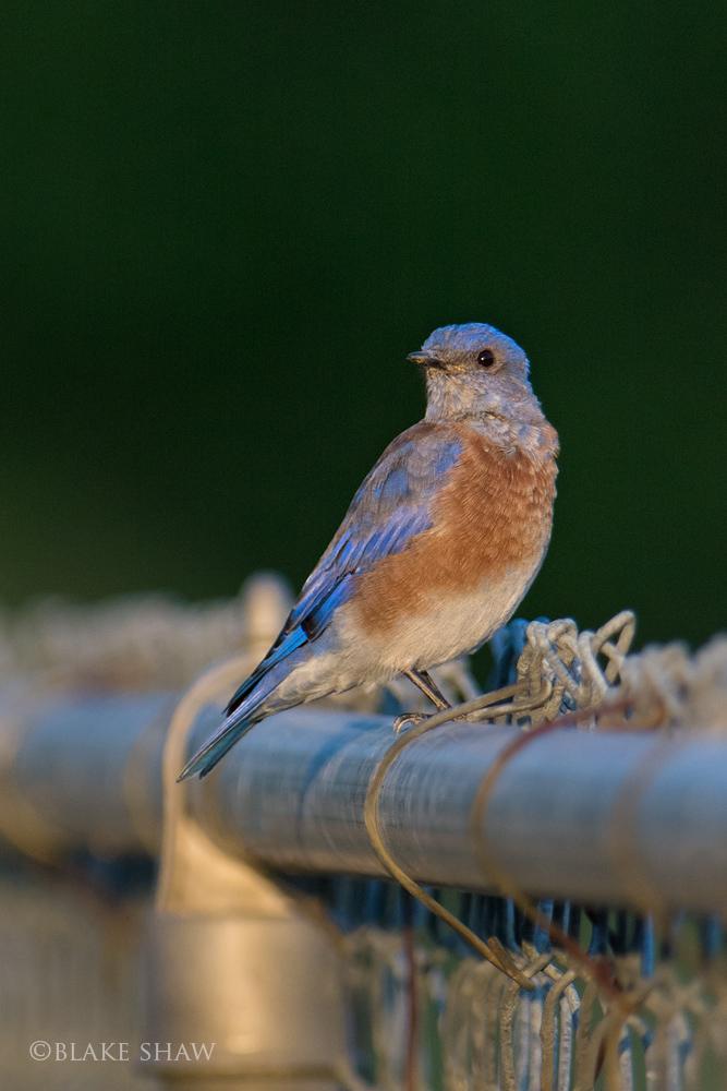 Western bluebird covington park