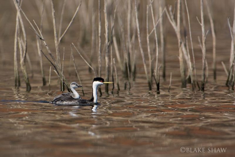 Western grebe and chick