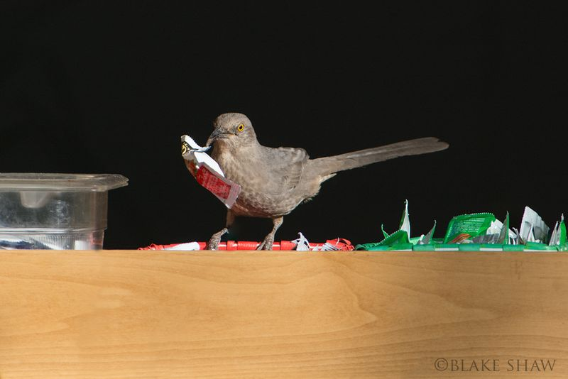 Curve-billed thrasher catsup