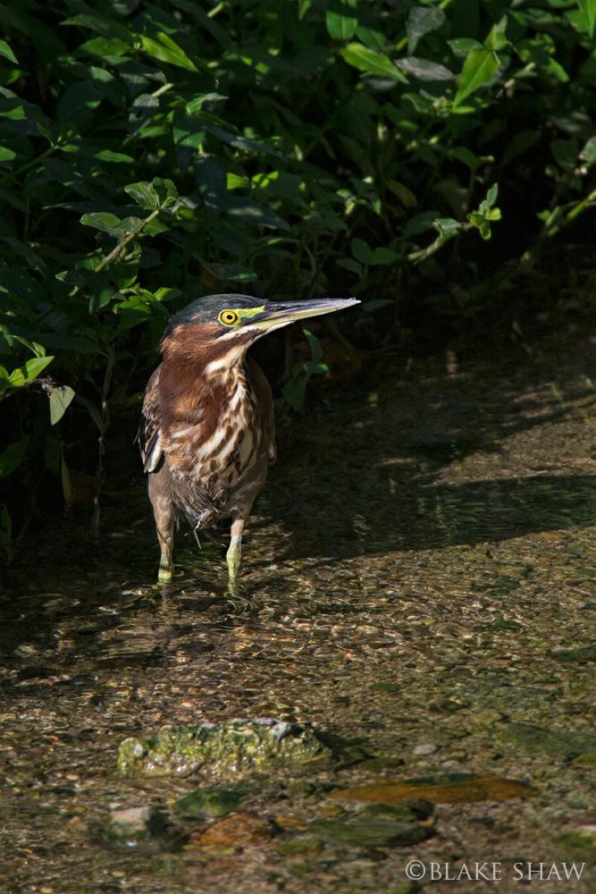 Green heron san jose dc estuary