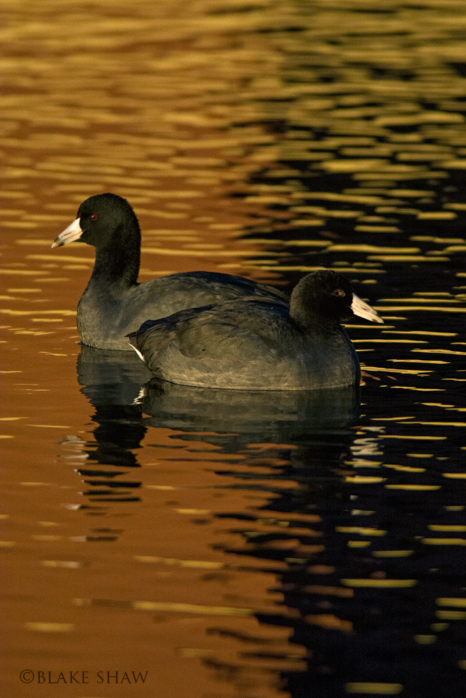 American coots 2