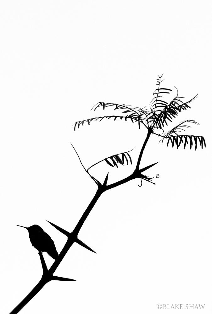 Anna's hummingbird silhouette