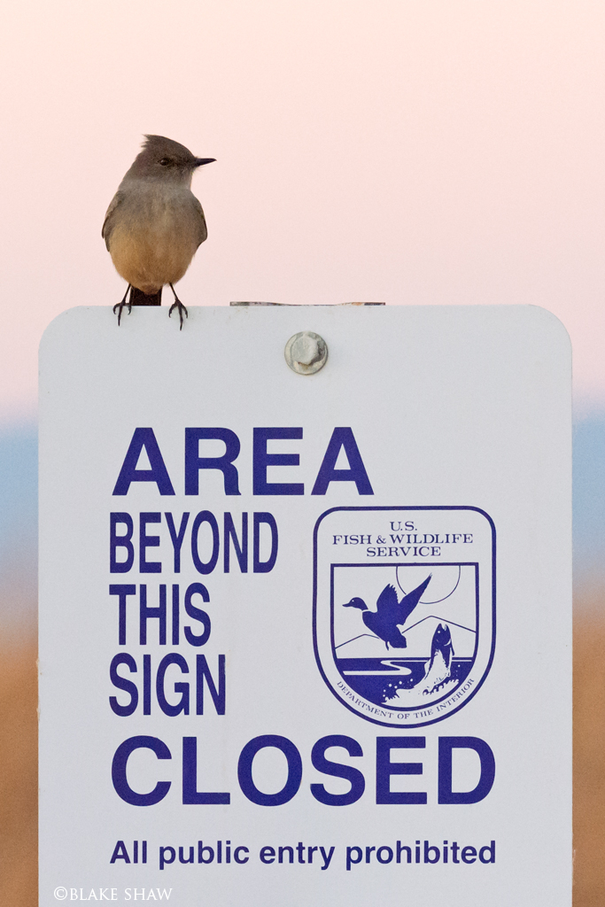 Say's phoebe and sign