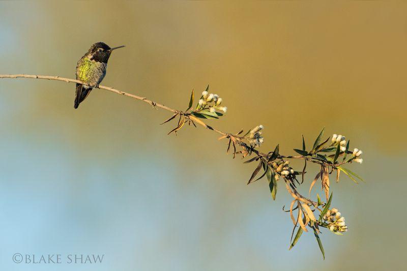 Anna's hummingbird salton sea