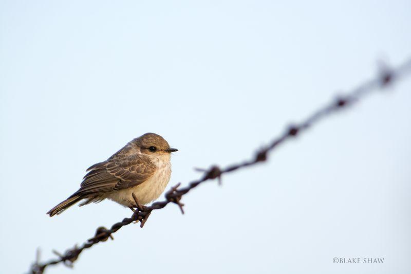 Vermilion flycatcher juvenile