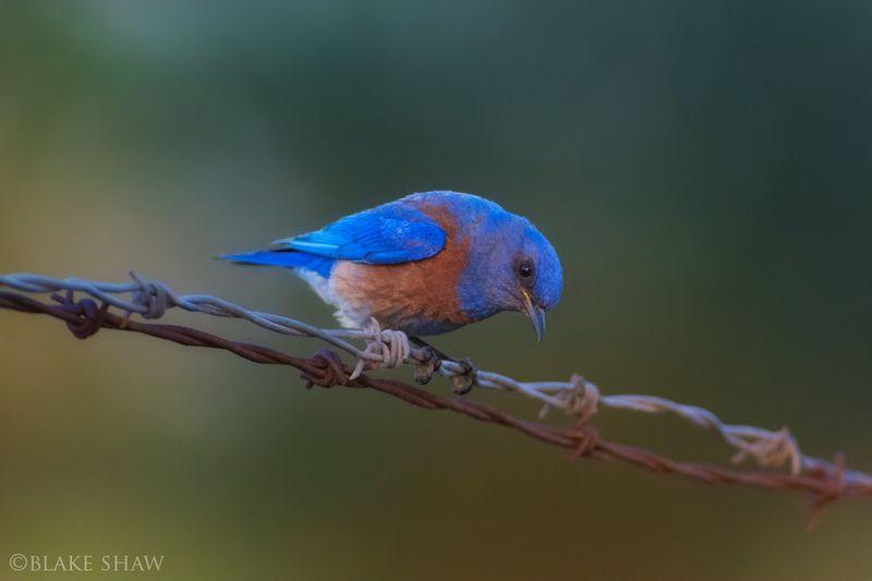 Western bluebird chino