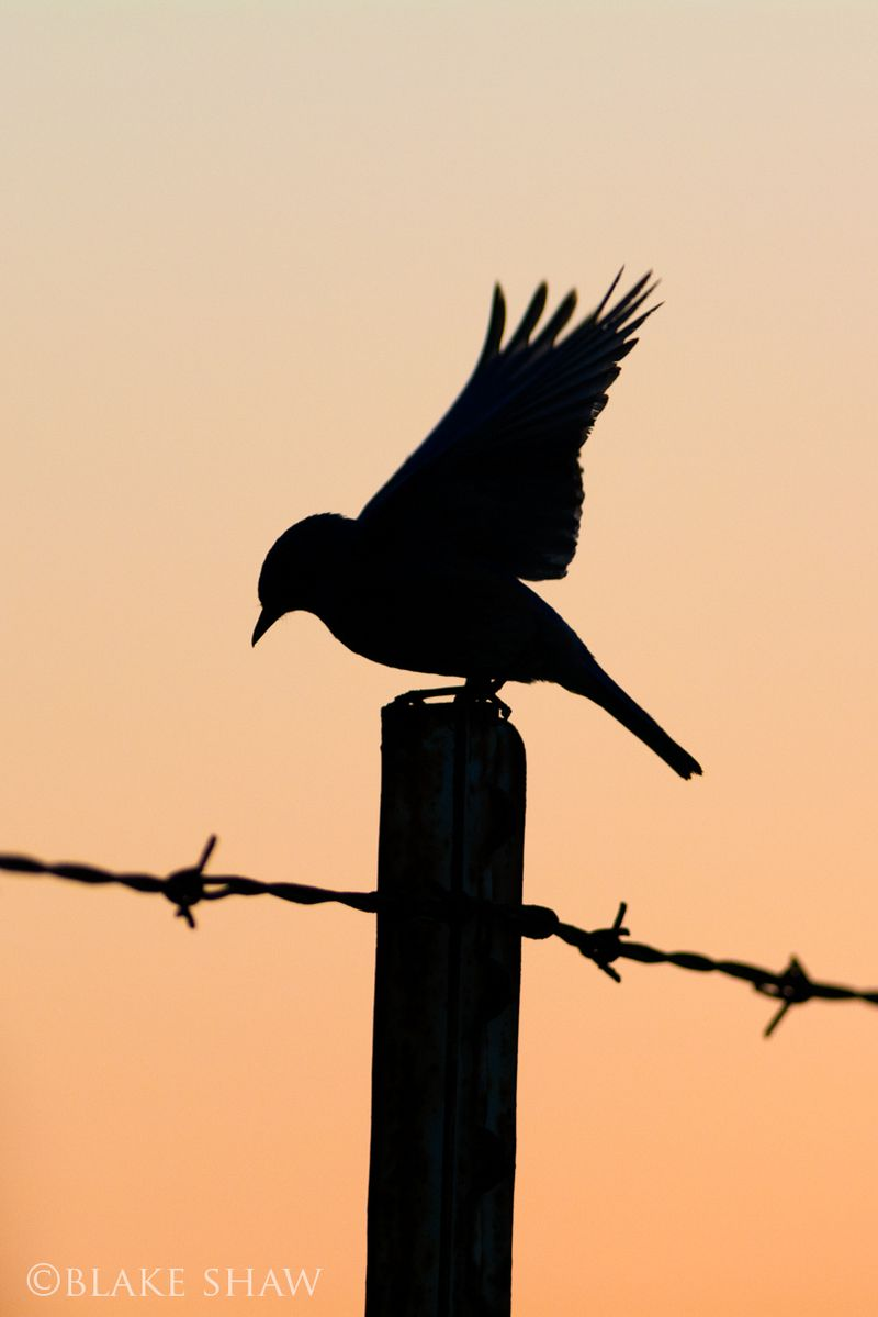 Western bluebird silhouette