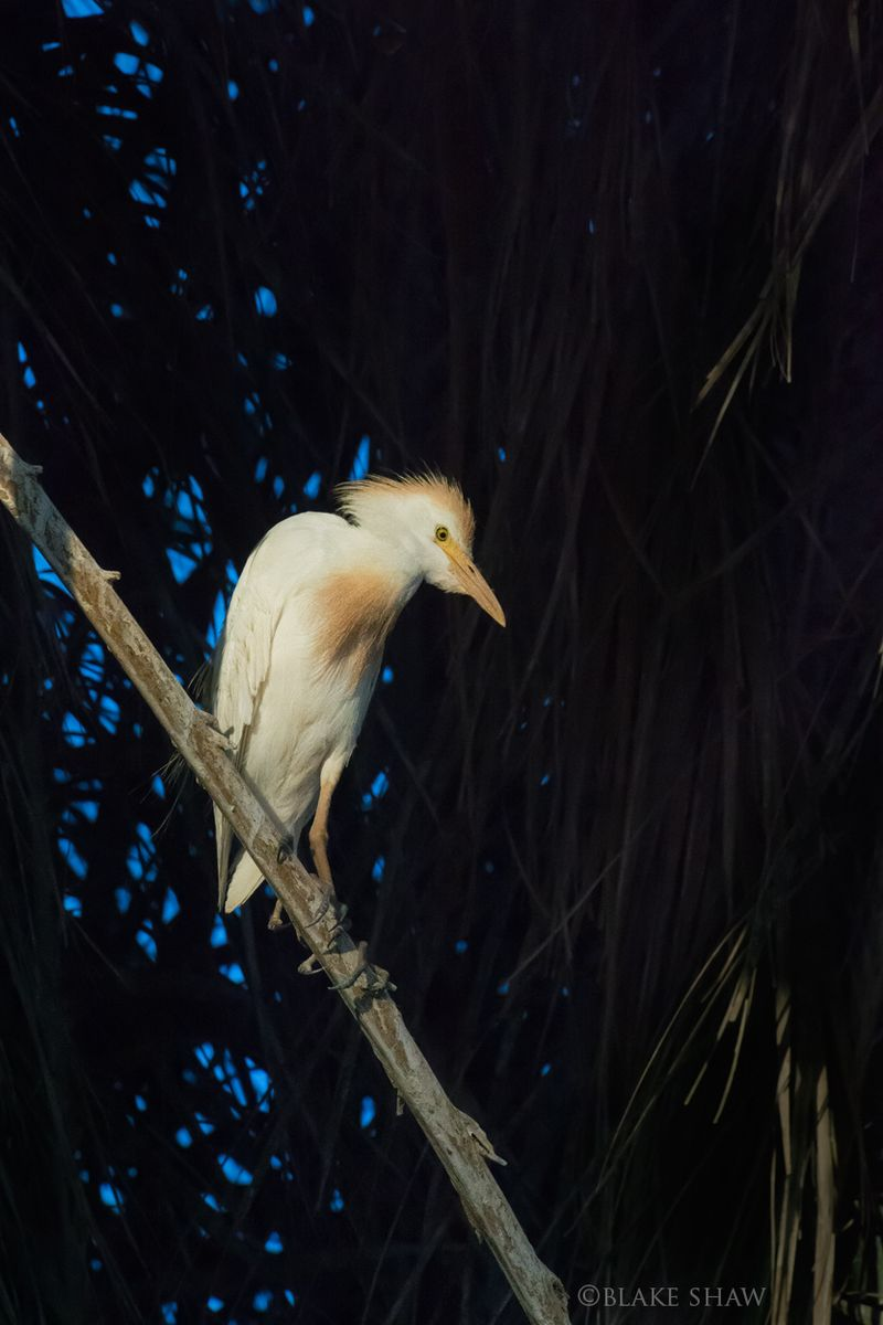 Cattle egret breeding
