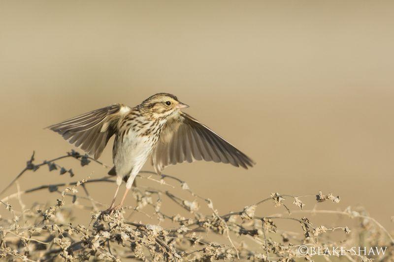Savannah sparrow flight