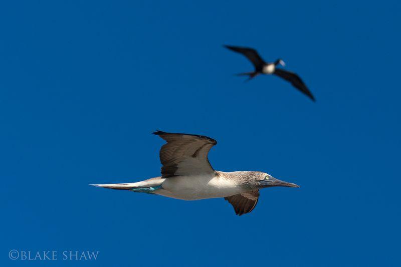 Blue-footed Boobie and frigatebird