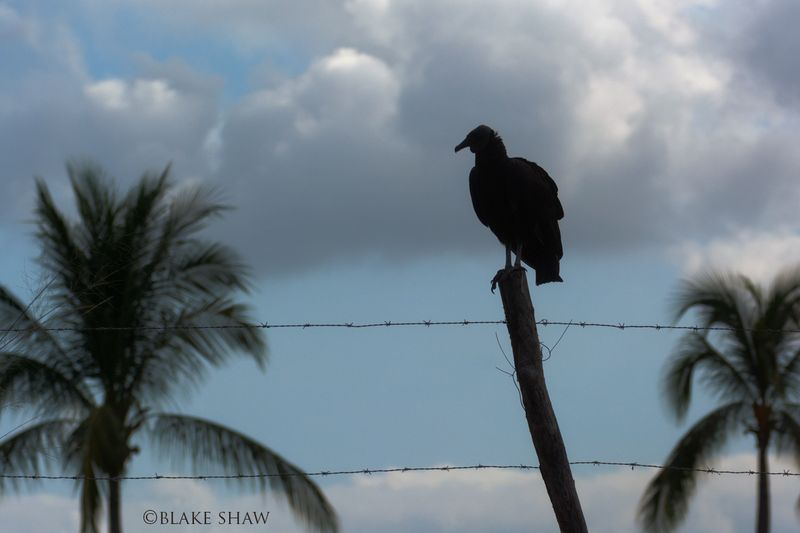 Black vulture puerto vallarta