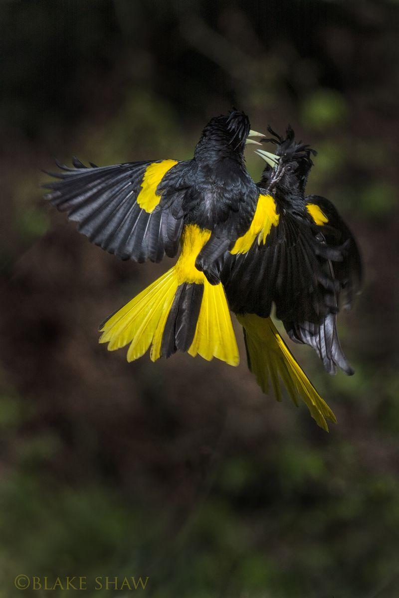 Caciques squabbling