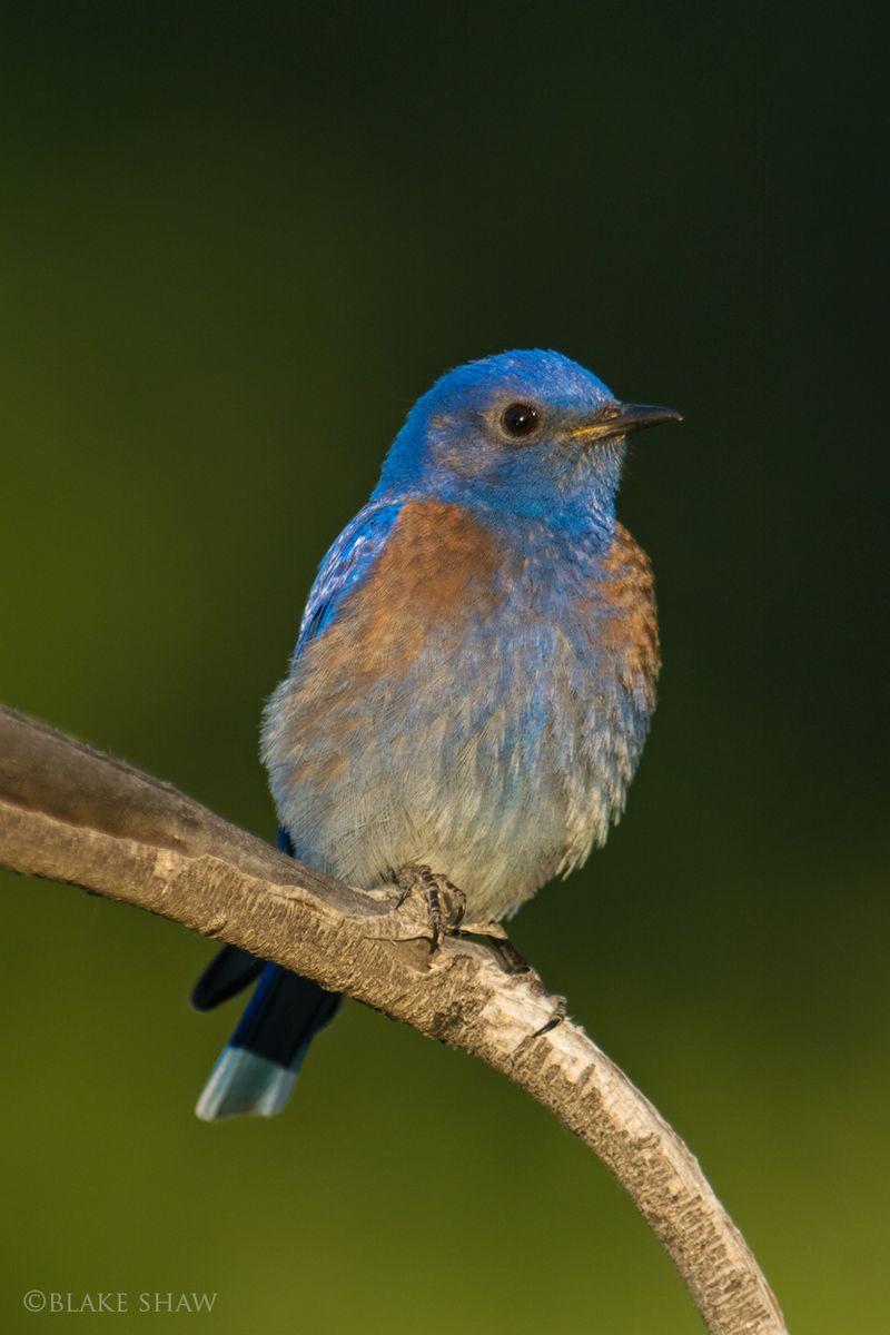 Western bluebird kern river