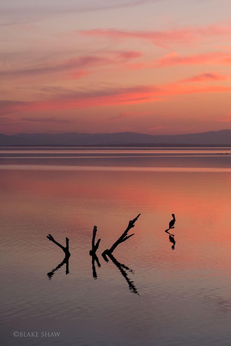 Salton sea pelican sunset