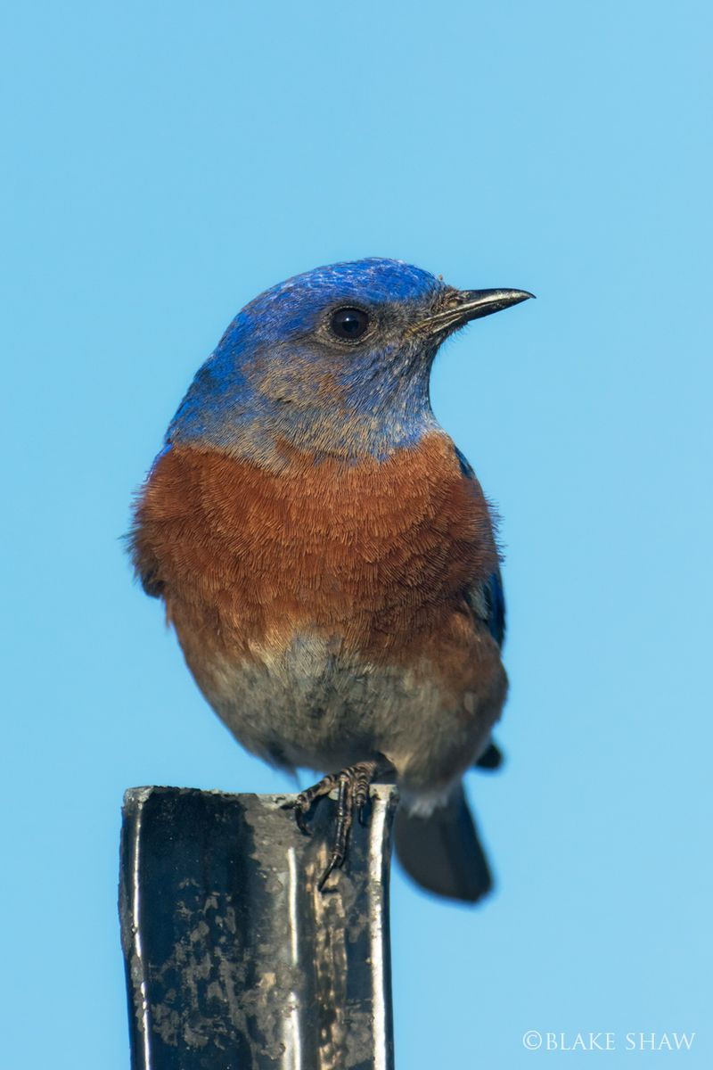 Western bluebird copy