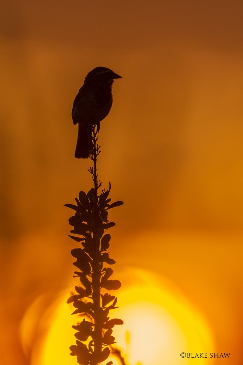 Black-throated sparrow silhouette 3