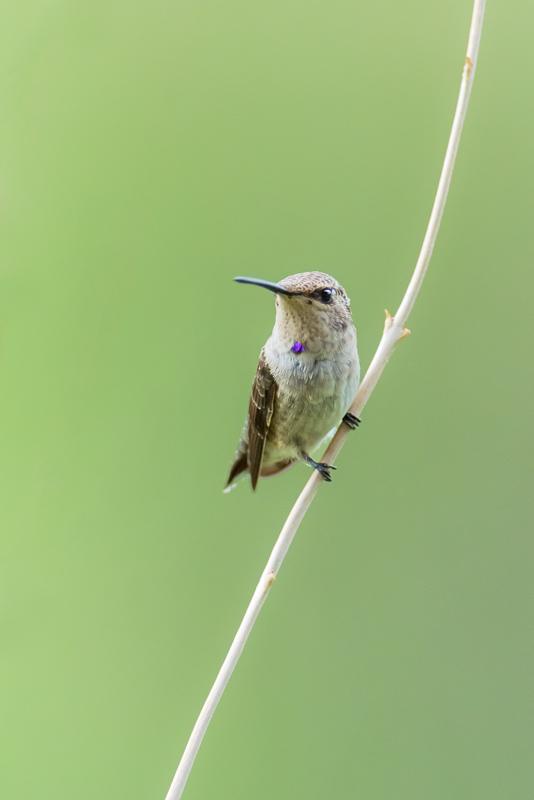 Juvenile hummingbird
