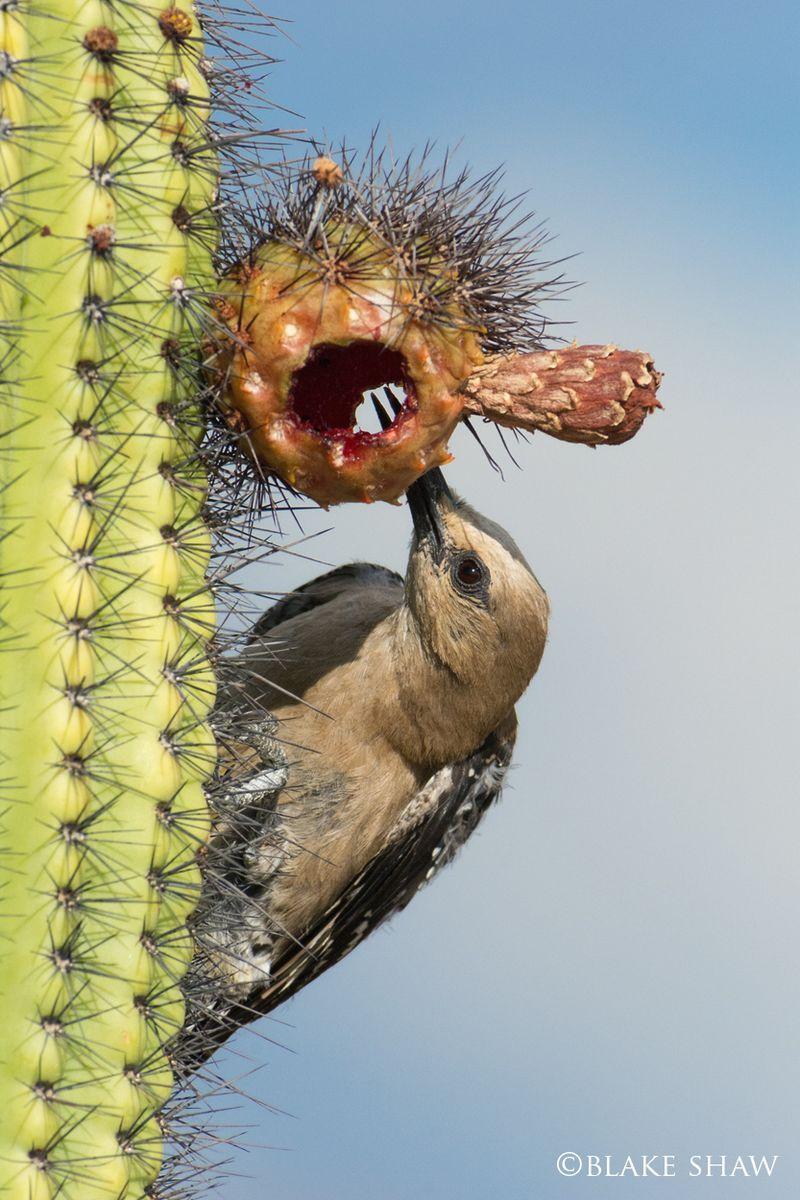 Gila woodpecker saguaro