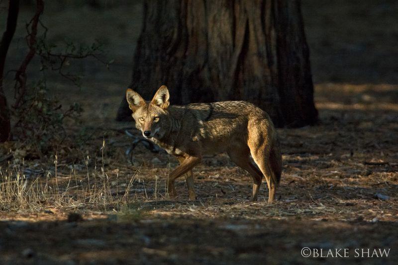Coyote idyllwild
