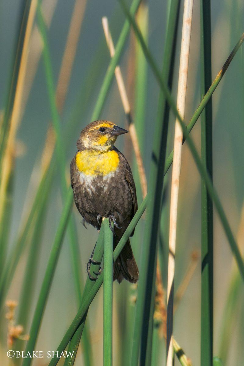 Yellow-headed blackbird female