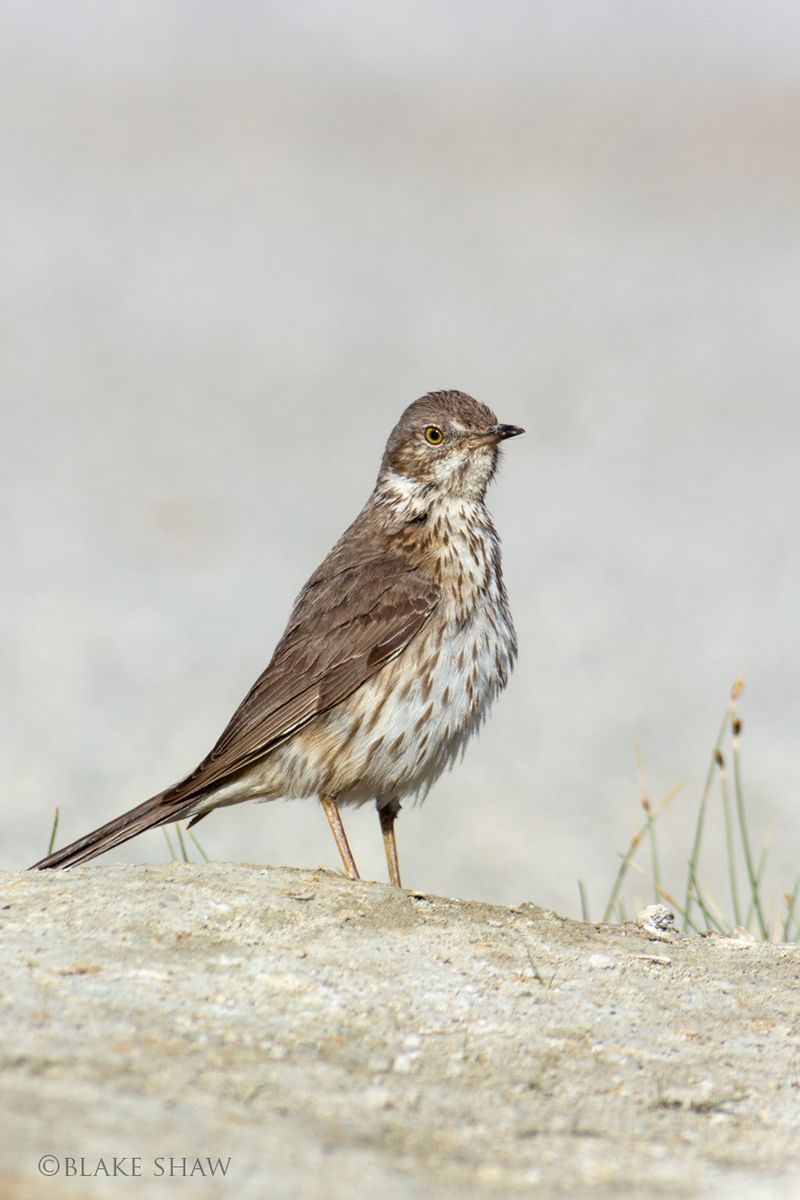 Sage thrasher mono lake 3