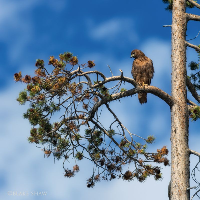 Red-tailed hawk copy