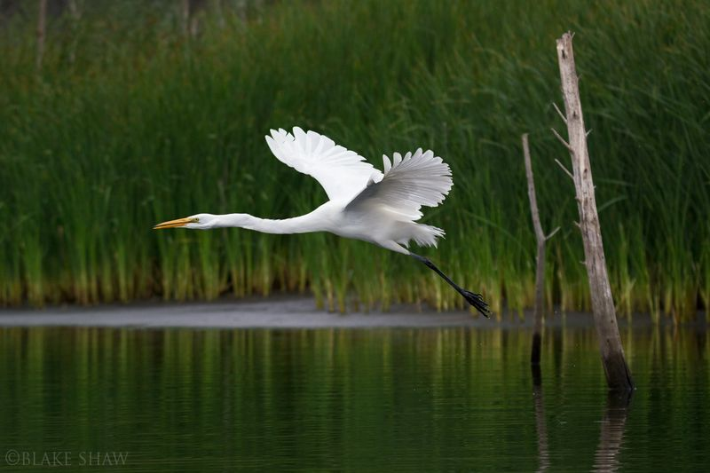 Great egret lake hodges