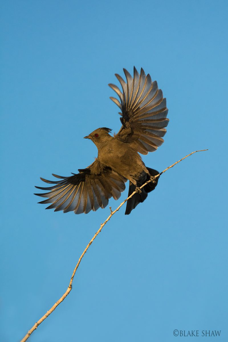 Phainopepla flight