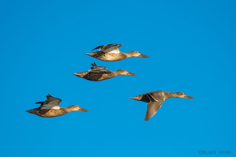 Northern shoveler females