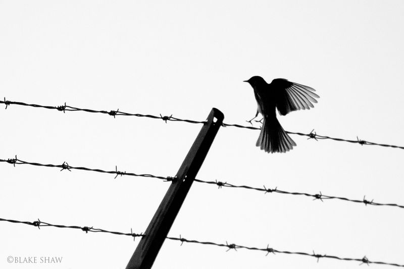 Black phoebe silhouette