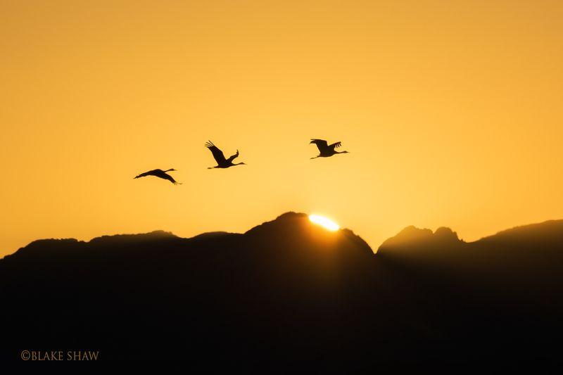 Sandhill cranes sunset silhouette