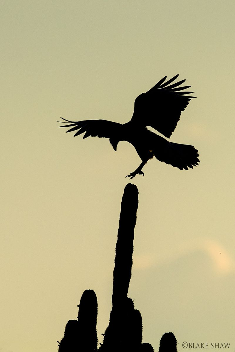 Crested caracara silhouette