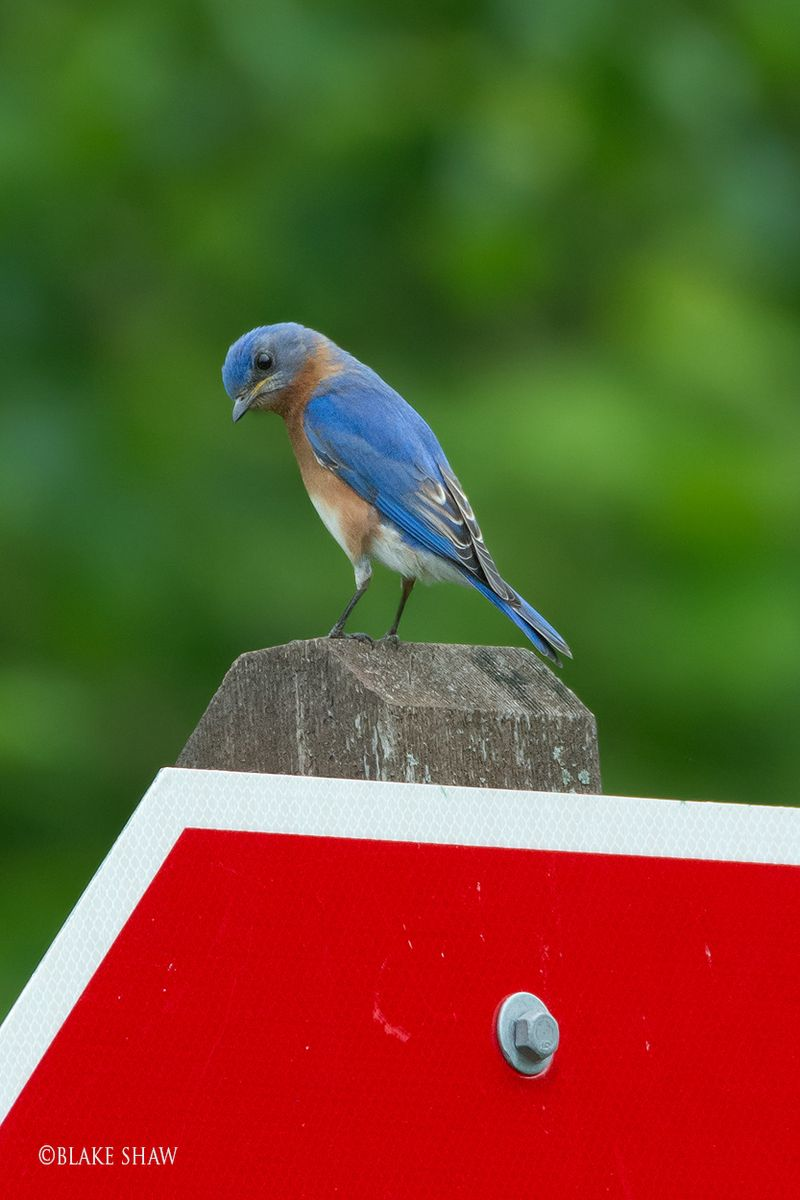Eastern bluebird copy